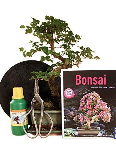 Anfänger Bonsai-Set Liguster - 6 teilig - ca. 35 cm hoher Liguster, 1 Schere, 1 Untersetzer, 1 Arbeitsdrehteller, 1 Flasche Dünger, 1 Bonsaibuch