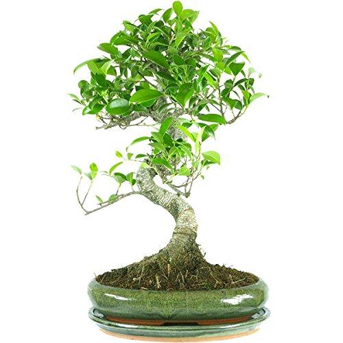 Fico, Ficus, Bonsai, 9 anni, 39cm