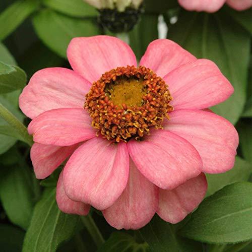 GEOPONICS Mix: Zinnia Garden- Zahara Series - Jahres Gardening -