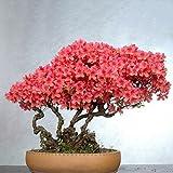 Semi di Fiori perenni a Crescere, Mountain Azalea rododendro in Vaso Piante Rare Bonsai Giardino di casa Bonsai Misto 10 Semi