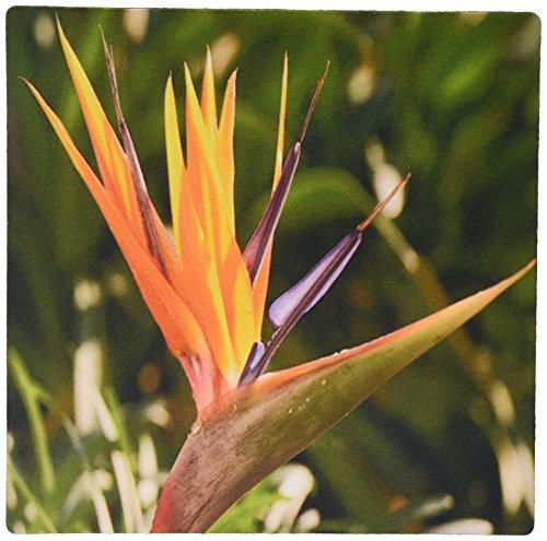 3drose LLC 20,3x 20,3x 0,6cm Bird of Paradise Strelitzia, Primär Farben, Tropical Flower Muster Maus Pad (MP _ 46978_ 1) (Paradise Cover Bird Of)