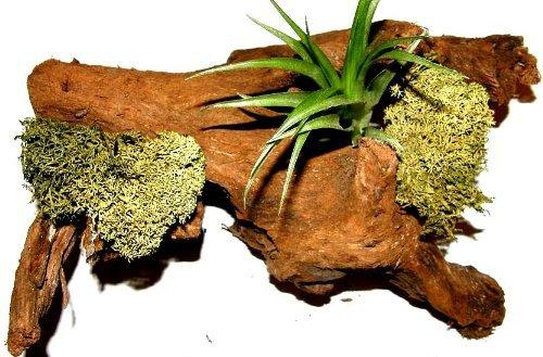 1 Wurzel bepflanzt mit einer Tillandsie und grünem Dekomoos, Terrarium