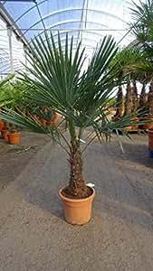 "- Winterharte Palme - Trachycarpus fortunei ""Chinesische"
