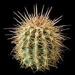 Carnegiea gigantea (Saguaro) seeds