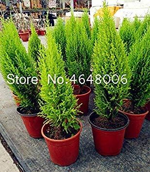 Bonsai 100 PC/Beutel Miniatur-Kiefer Bonsai-Baum-Innen Woody Pflanze, Evergreen Kiefer Staude für Miniatur-Garten-Dekor: 80 Pcs-Kiefer -