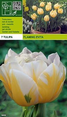 """Rarität: Tulpe """" Flaming Evita """" (7) von MOSSELMAN bei Du und dein Garten"""