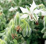 Kräutersamen - Borretsch Weißer - 100 Samen