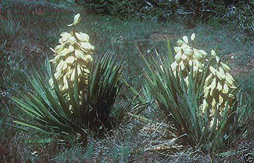 Portal Cool Pl¨Tano Yucca Samen aus Juca Baccata gefrierend/warm/trocken auf Hardy