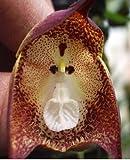 Orchid Monkey Face Purple Dots - Affengesicht Orchidee violette Punkte - 20 Samen