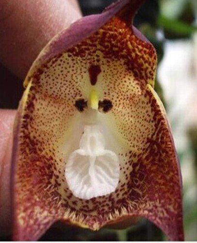 Orchid Monkey Face Purple Dots - Orquídea cara de mono puntos morados - 20 semillas