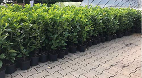 Hecke Smaragd Occidentalis