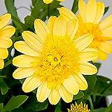 MEIGUISHA Gartensamen- seltene Sie Daisy Kapkörbchen Osteospermum Blumensamen mehrjärig erstaunliche Gartenpflanze Gänseblümchen Ideal für Beete oder Balkonkästen