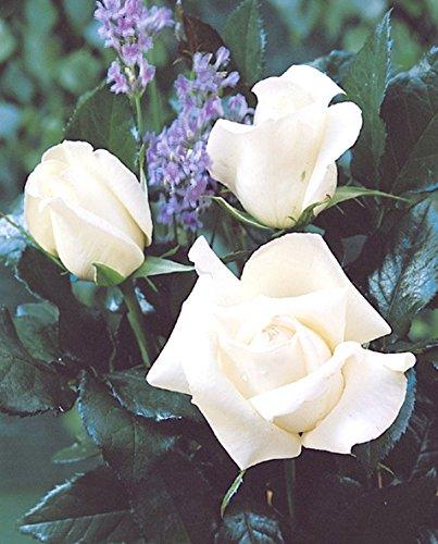 edelrose-roy-black-r-im-4-l-container