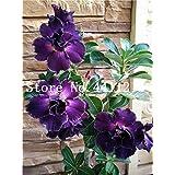 Bloom Green Co. Gran venta !Bonsái de Rosa del Desierto genuino 1 pcs. Flor de Adenium Obesum Planta de Bonsái Purificación