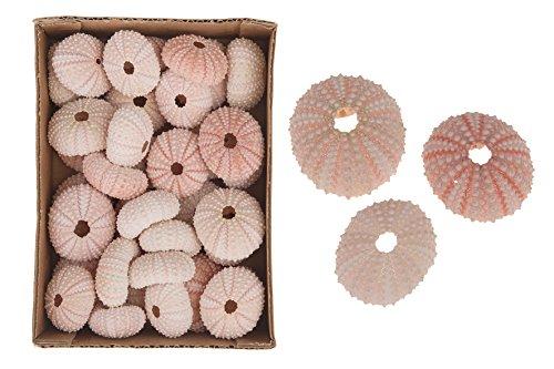 CF-NatureCraft Seeigel Gehäuse rosé 3-5 cm 5,20 Oder 36 St. Pink Urchin Muscheln Schnecken Seesterne Aquarium Deko