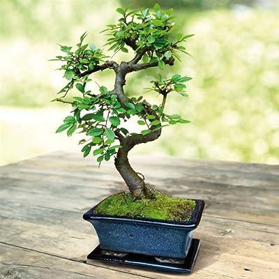 S förmiger Ulmen Bonsai 15cm von Meingartenshop auf Du und dein Garten