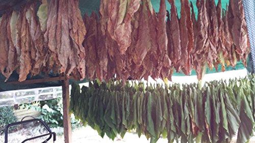 7x1000 7 Sorten Tabaksamen Ganz frische Samen Ernte 2018 Echter Rauchtabak Tabakpflanzen