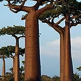 Cioler 20 stücke Affenbrotbaum Samen Seltene Baobab...