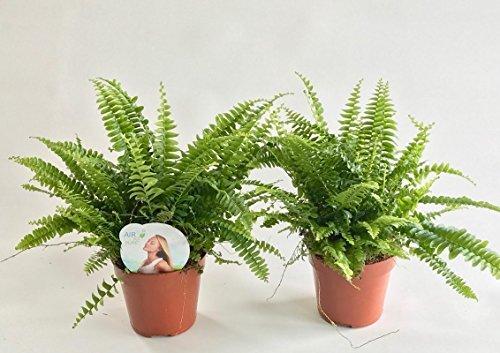 AIRY Schwertfarn Zimmerpflanze - Nephrolepis exaltata - Natürlicher Luftfilter für spürbar gesünderes Raumklima - Passend zum innovativen AIRY Pflanzentopf (12cm breit)