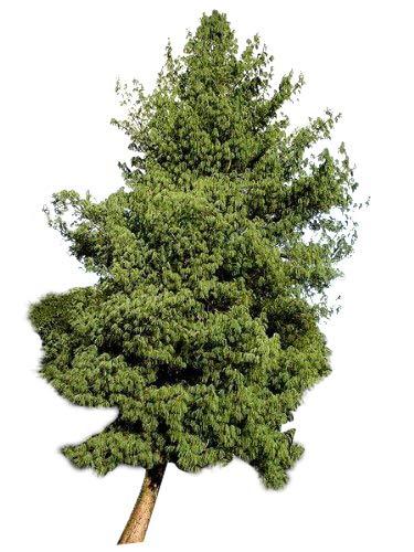 1000 Samen -Tränen-Kiefer- 'Pinus wallichiana' (Winterhart) Auch Himalaya Kiefer genannt