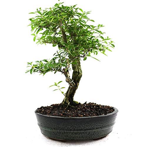 Bonsai Junischnee, Serissa foetida, 15 Jahre, 30 cm Höhe