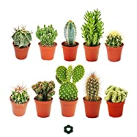 Ten of the most popular cactus in a set -Ideal to start your new collection. This set includes 10 different cactus in a 5.5cm pot selected by us.Each cactus is labelled with its name. Unfortunately the varieties cannot be selected by the buyer. The s...