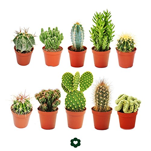 set-of-10-different-cactus-55cm-pot-approx-8-15cm