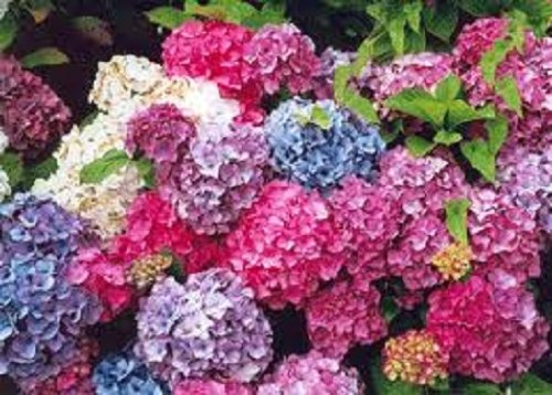 collection-of-3-hydrangea-shrubs-all-labeled-in-9cm-pots-healthy-plants