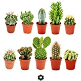 Set of 10 different cactus 5,5cm pot - approx. 8-15cm
