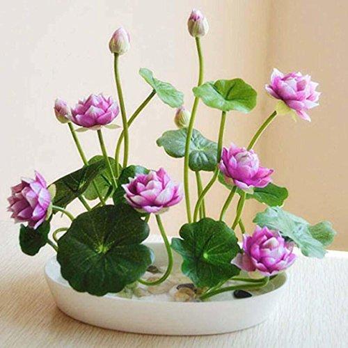 Keptei Samenhaus- Mini-Lotusblumen Samen(Nelumbo)Hydroponischen Wasser Blume Pflanze Indoor Bonsai Lotus Saatgut mehrjaehrig mehrfarbrig -