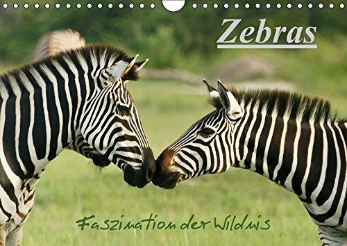 Zebras - Faszination der Wildnis (Wandkalender 2017 DIN A4 quer): Zebras: Schöne Momentaufnahmen der faszinierenden gestreiften Pferde in freier und Botswanas (Monatskalender, 14 Seiten) por Nadine Haase