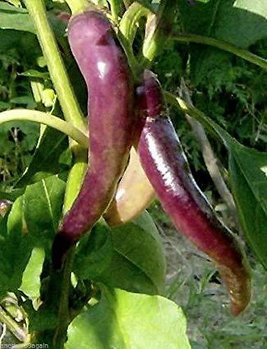 PLAT FIRM KEIM SEEDS PLATFIRM-Lila Cayenne-Pfeffer 25 Samen Große frisch Eingelegte und getrocknete Zier Too