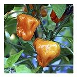 Golden Habanero Chili - chile - 10 semillas