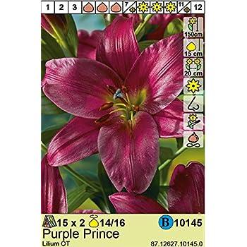 Lilium hybrid - Baum - Lilie \