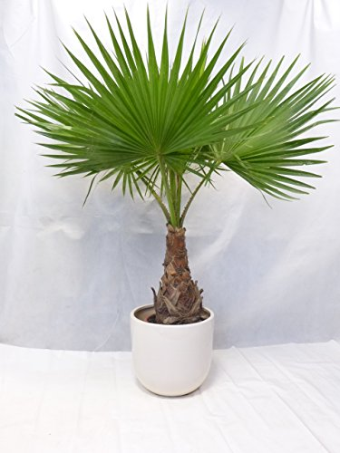 Washingtonia robusta 170 cm / Stamm 50 cm - Petticoat Palme