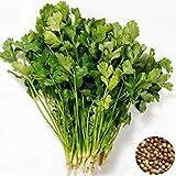 50 semillas de las PC Coriandrum Sativum Vegetable Seeds Balcón perejil Cuatro estaciones pueden crecer las semillas de cilantro Plantas para jardín