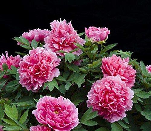 10pcs / sac de graines de pivoine, jaune, graines de fleurs de pivoine rose chinoise belles graines de bonsaï plantes en pot pour le jardin de la maison 12