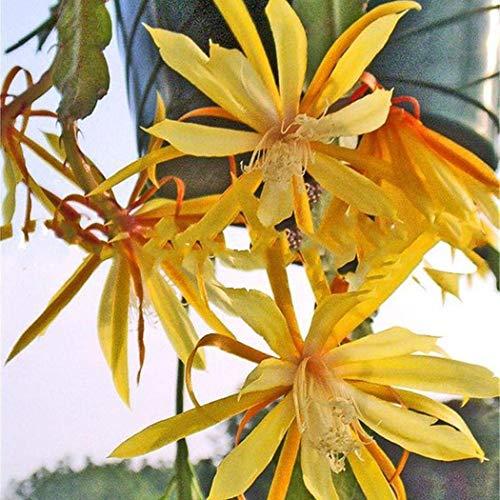 Blumenzwiebeln FH-N; 1967000