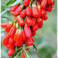 Nuovo Goji Berry Wolfberry Semi Ning Xia CINESE boxthorn Gojiberry Lycium chinense Super Grade nuovo raccolto semi 40 pc G36 - Inverno Fioritura Alberi