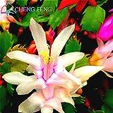 100 Stücke / Los Schlumbergera Seeds Orchid Bonsai Samen Blumen Mehrfarbig Wählen Sie DIY für Hausgarten-Grade Aaaaa chinesischen Pot