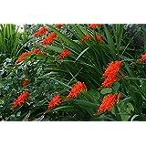 Crocosmia masoniorum 'Flamenco': aka Montbretia, a garden tested, hardy perennial plant supplied in a half litre pot