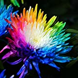 SOTEER Chrysanthemen Samen, Regenbogen Chrysantheme Bunte Blumensamen, 10/20/50/100 Samen/Pack - Zierpflanze für den Garten