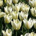 Tulpe Purissima von Meingartenshop auf Du und dein Garten