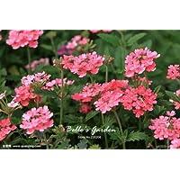 100pcs Multi-colores de la variedad Verbena Semillas de plantas resistentes semillas de flores exóticas Semillas ornamentales Flores Bonsai 08
