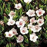 Fash Lady Seltene Normale Oxalis Blumen Glhbirnen Farbe Dreh Oxalis Zwiebeln FR Garten Samen Nur