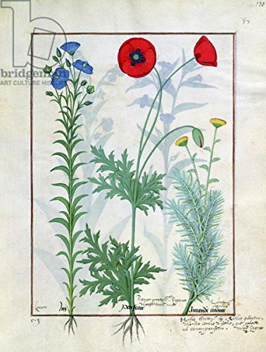 "Poster-Bild 20 x 30 cm: ""Ms Fr. Fv VI #1 fol.130r Linum, Garden poppies and Abrotanum, illustration from The Book of Simple Medicines, by Mattheaus Platearius (d.c.1161) c.1470 (vellum)"", Bild auf Poster"