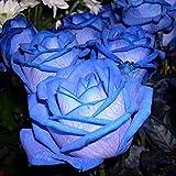 Begorey Garten-50 stück Rosensamen Edelrose Blumensamen Regenbogen Rose Bunte Blumen Samen für Ihr Garten Balkon Lange Blütezeit winterhart