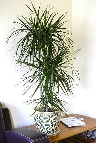 Indoor Plant -House or Office Plant -Dracaena marginata - Madagascar Dragon Tree Approx 90cm Tall