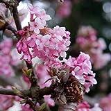 Grüner Garten Shop Duftender Winterschneeball, Viburnum bodnantense Dawn, duftende rosa Blüte, Pflanze im 3 Liter Topf