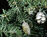 Kanadische Hemlocktanne Tsuga canadensis 130 Samen